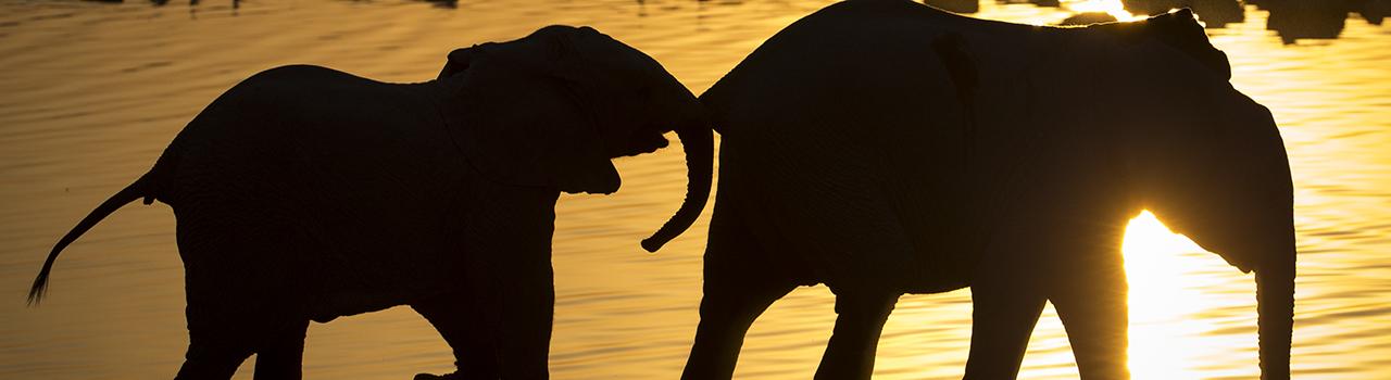 Elephanteaux de savane Afrique (Loxodonta africana) au point d eau au coucher du soleil parc national Etosha, Namibie.