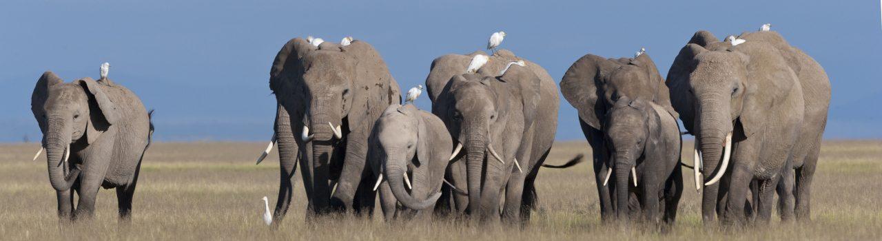 Troupe d'éléphants de savane au Kenya