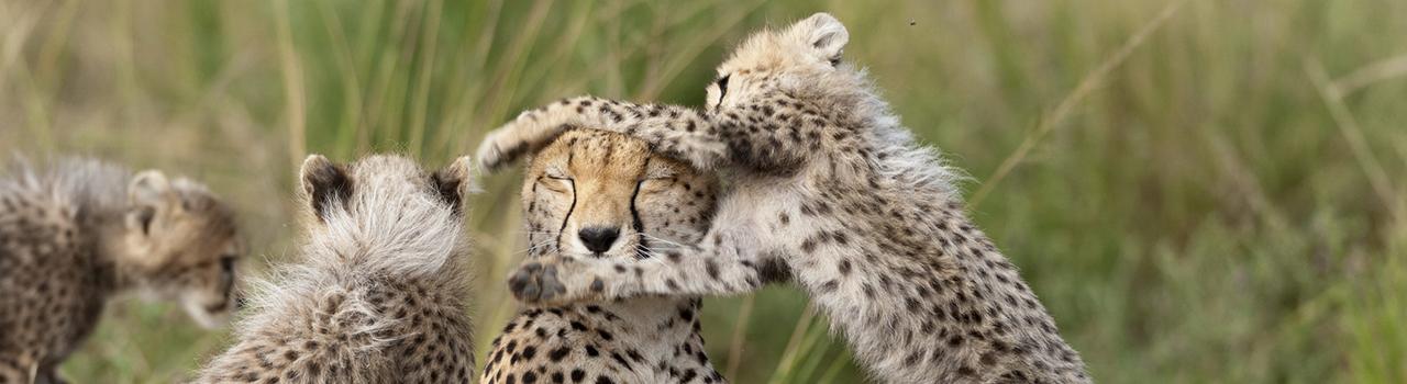 Femelle guépard jouant avec ses petits, Kenya