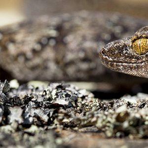 Gecko d'Otago sous une pierre, Nouvelle-Zélande