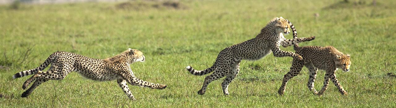 Jeunes guépards se courant après, Kenya