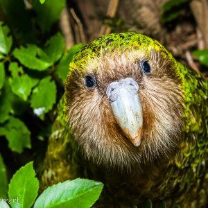 Kakapo, Nouvelle-Zélande