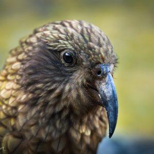 Kea, Nouvelle-Zélande