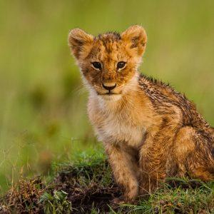 Lionceau, Kenya, Afrique