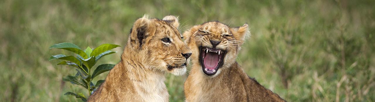 Lionceaux jouant, Kenya