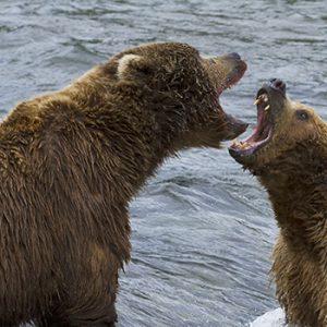 Deux ours brun se battent en Alaska