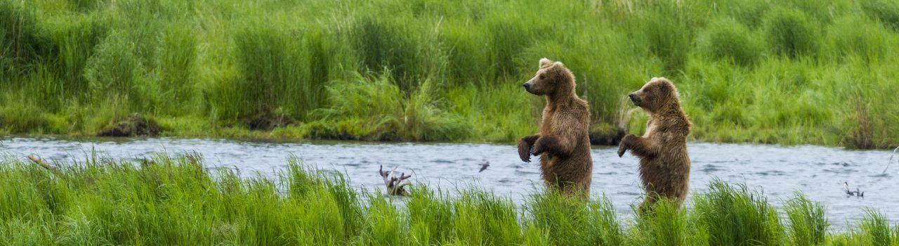 Jeune grizzli dans une rivière en Alaska