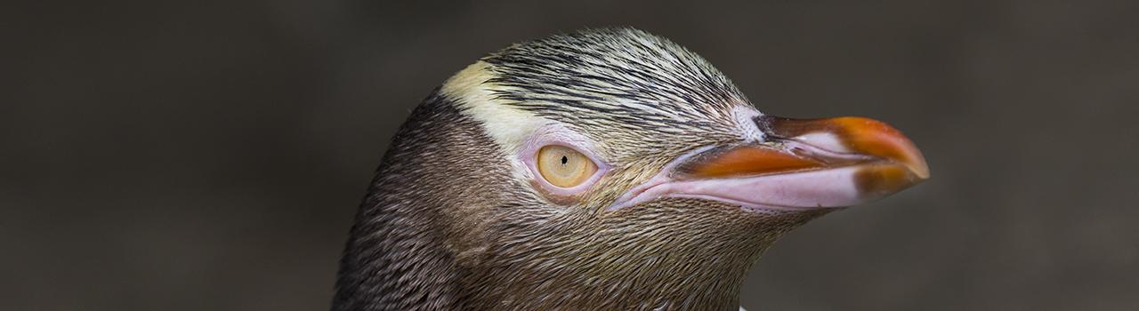 Portrait de manchot antipode de Nouvelle-Zélande