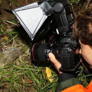 La rare grenouille de l'île de Maud, Nouvelle-Zélande