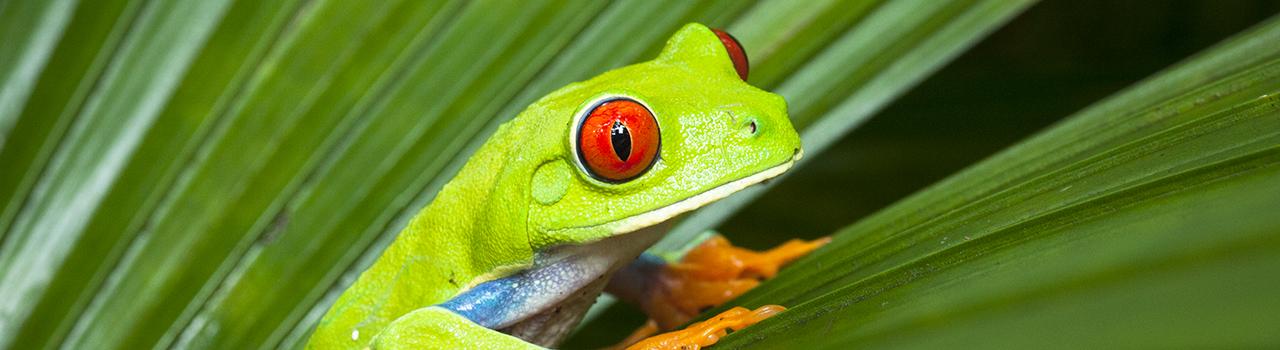 Grenouille aux yeux rouges au Costa Rica