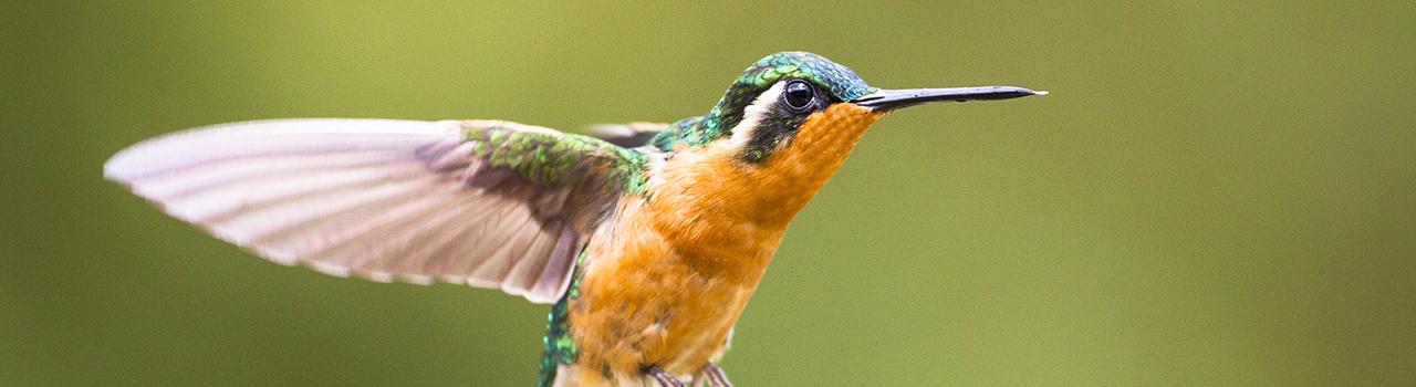 Colibri à gorge pourprée en vol, Costa Rica