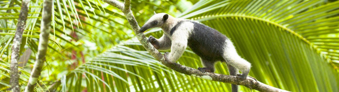 Tamandua mexicain sur une branche d'arbre au Costa Rica