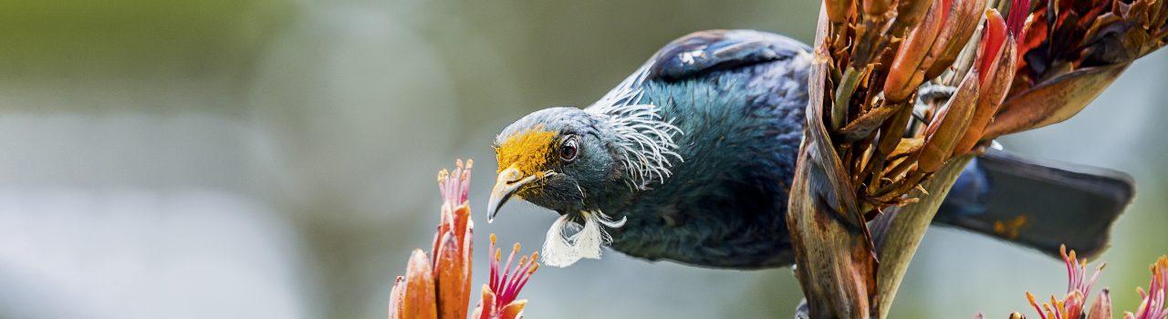 Oiseau tui se nourrissant de nectar en Nouvelle-Zélande