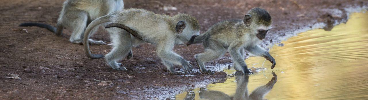 Jeunes singes vervet jouant avec une mare d'eau en Tanzanie