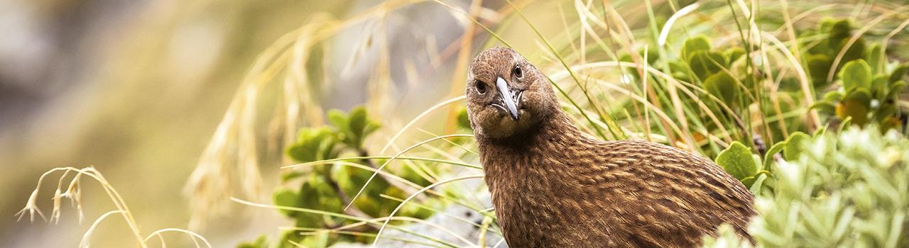 Weka regardant le photographe, Nouvelle-Zélande