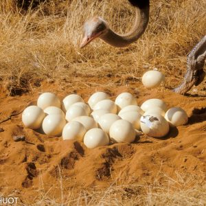 autruche de Somalie, mâle et nid, Struthio molybdophanes, reserve de samburu, Kenya