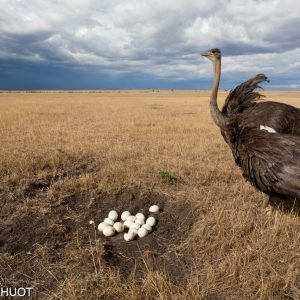 Kenya, réserve de Masai-Mara, autruche masai, Struthio camelus, femelle défendant son nid
