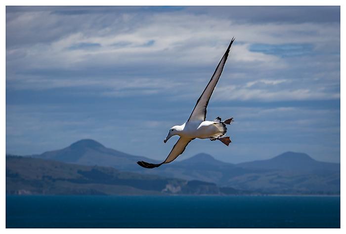 Albatros royal du nord, Nouvelle-Zélande