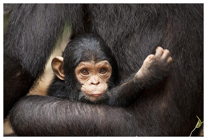 Bébé chimpanzé, Tanzanie