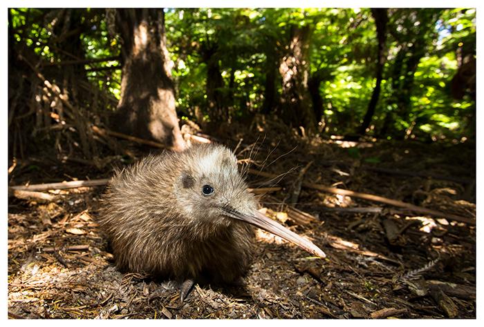Jeune Kiwi rowi, Nouvelle-Zélande