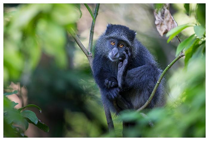 Singe bleu, Tanzanie