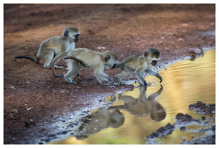 Jeunes singes vervet, Tanzanie