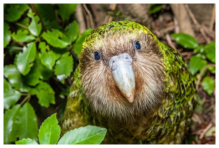 Sirocco, Kakapo de Nouvelle-Zélande