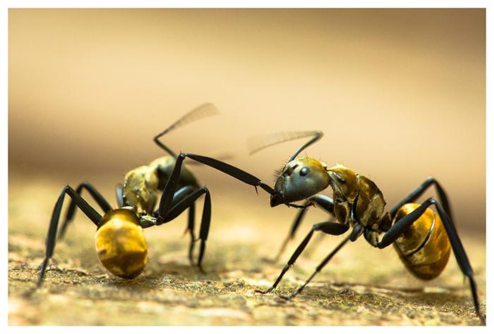 Fourmis Camponotus, Costa Rica