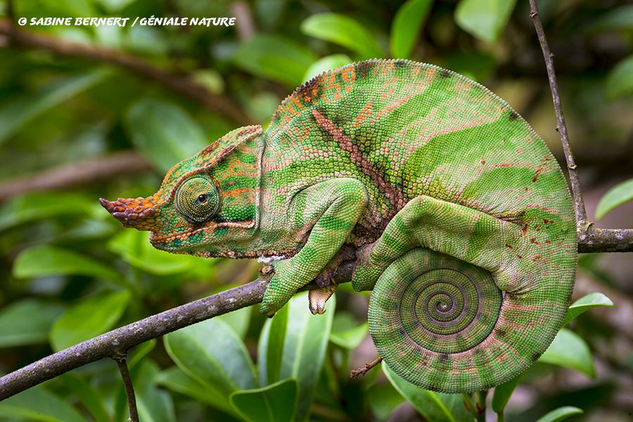 Caméléon Fulcifer balteatus sur une branche