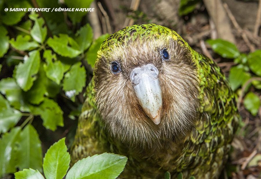 Kakapo dans les feuillages