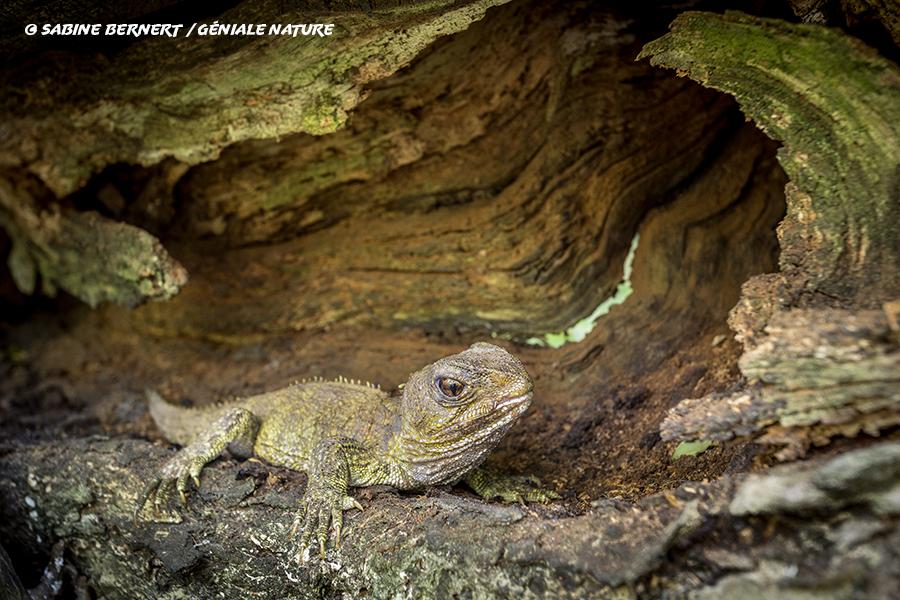 Tuatara dans un tronc creux