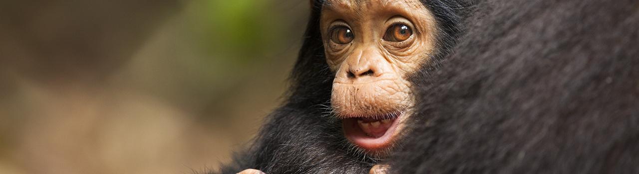 Jeune chimpanze commun sauvage, Pan troglodytes. Le Parc National des Monts Mahale en Tanzanie protege l une des plus importantes populations de chimpanzes sauvages. Une troupe a ete habituee par des primatologues a des fins de recherhe et peut être approchee dans le respect de regles strictes. Mahale NP in Tanzania protecs one of the most important populations of wild chimpanzees. A troop has been habituated by primatologists to human presence, and can be approached under strict regulation.