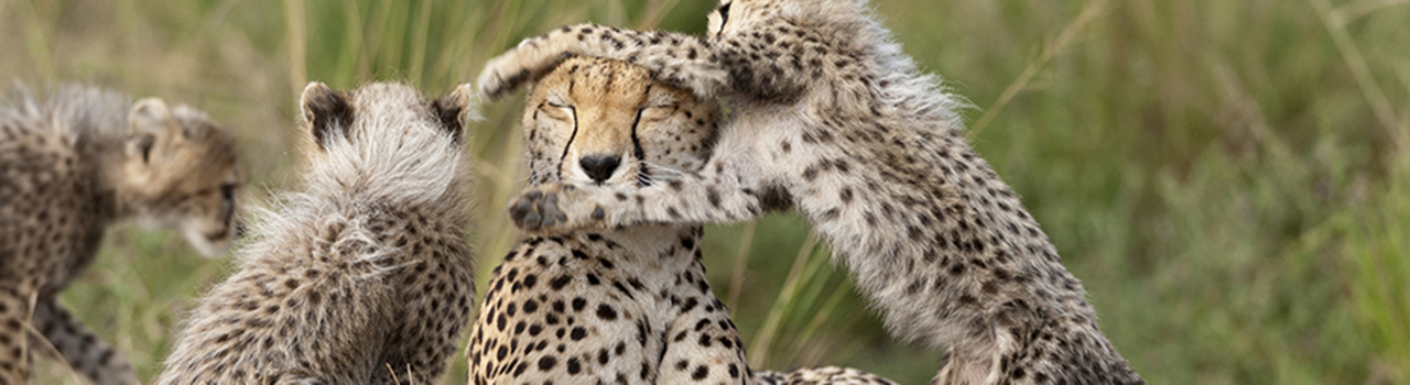 Kenya, Réserve nationale du Masai-Mara, Guepard, Acinonyx Jubatus, femelle et jeunes jouant