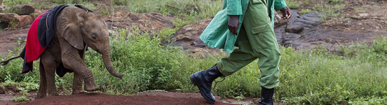 Kenya, parc national de Nairobi, orphelinat des éléphants, éléphanteaux allant se baigner avec leur soigneur