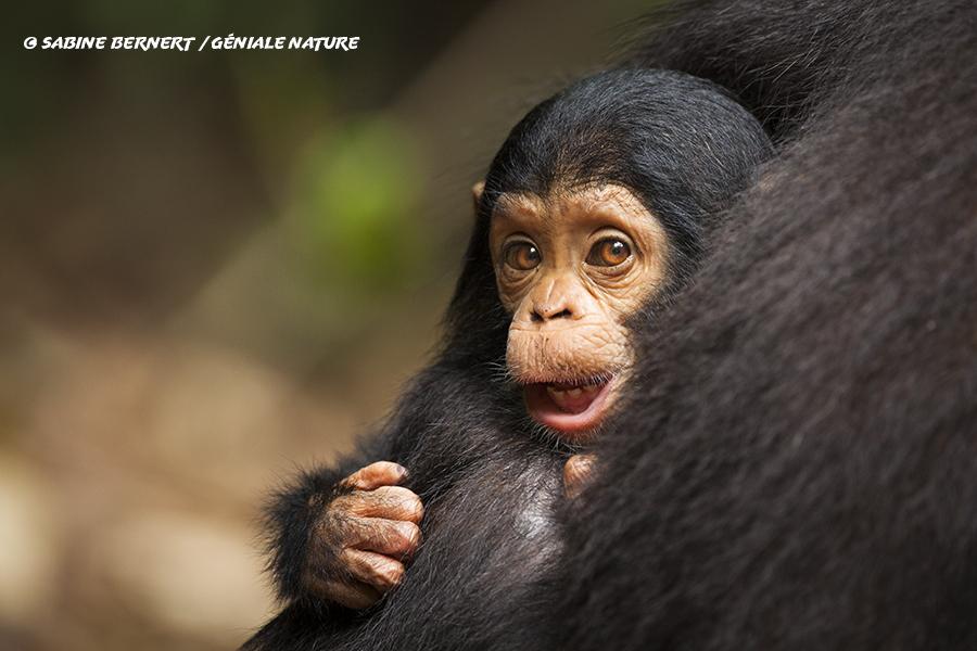 Jeune chimpanzé du parc des Monts Mahale