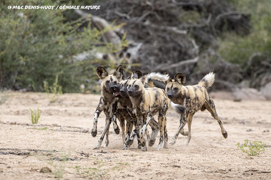 Lycaons jouant dans la savane