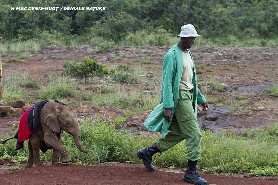 Soigneur d'éléphants suivi par un éléphanteau